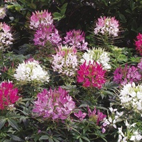 Cleome Sparkler Mixed Seeds