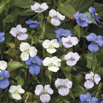 Commelina Ouverture Mixed Seeds