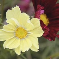 Cosmos Xanthos & Rubinato Mixed Seeds