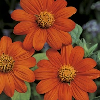 Tithonia Torchlight Seeds