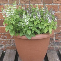 Basil Fragrant Flowers Seeds