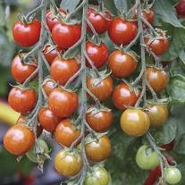 Tomato Suncherry Premium F1 Seeds