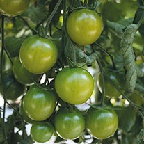 Tomato Sungreen F1 Seeds