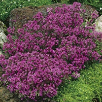 Thymus (Thyme) praecox Creeping Red Seeds