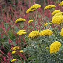 Achillea Cloth of Gold Plant