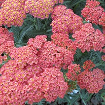 Achillea Summer Fruits Salmon Plants