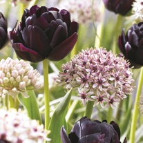 Allium and Tulip Collection