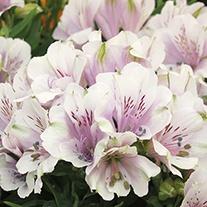 Alstroemeria Inticancha® Moonlight Plants