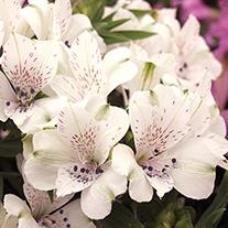 Alstroemeria Inticancha® Magic White Plants
