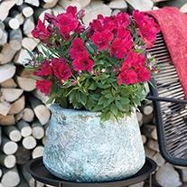 Alstroemeria Inticancha® Valentino Plants