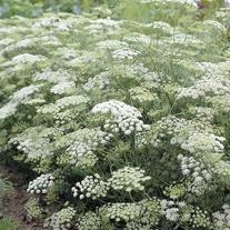 Ammi majus Plants