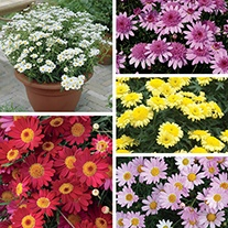 Argyranthemum Madeira Plant Collection