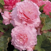 Begonia Majestic Soft Pink Plants