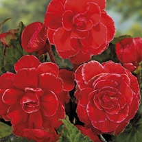 Begonia Picotee Lace Red Flower Bulbs