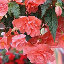 Begonia Illumination Salmon Pink F1 Plants & Baskets