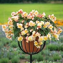 Begonia Sweet Spice Citrus Plants