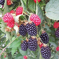 Blackberry Ouachita Plant
