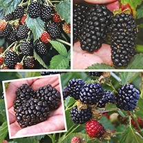 Long Cropping Blackberry Collection