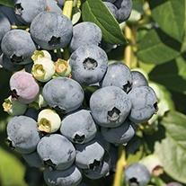 Blueberry Bluecrop Plant