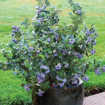 Blueberry North Country Plant