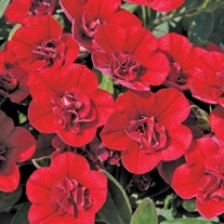Calibrachoa Double Can Can Red Plants