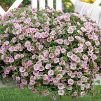 Calibrachoa Double Can Can Pink Vein Plants