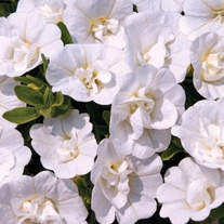 Calibrachoa Double Can Can White Plants