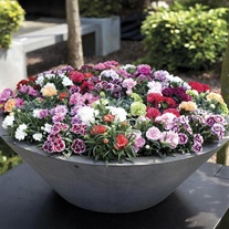 Carnation Sunflor Series (Patio Pot) Collection
