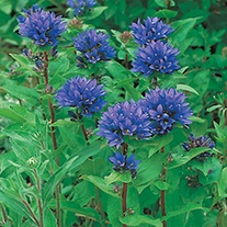 Clustered Bellflower Plants
