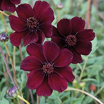 Chocolate Cosmos Eclipse Plants