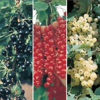 Season Long Currant Plant Collection