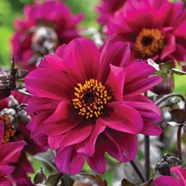 Dahlia Bishop Of Canterbury Tubers
