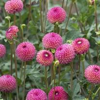 Dahlia (Ball Type) Burlesca Tubers