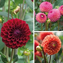 Dahlia Ball Flowered Tuber Collection