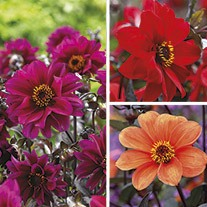 Dahlia Bishop Tuber Collection