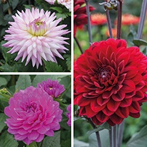 Dahlia Karma Tuber Collection