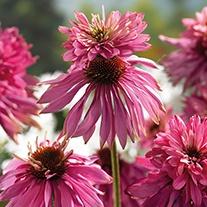 Echinacea Double Decker Plant