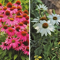 Echinacea PowWow Plant Collection