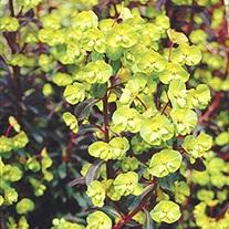 Euphorbia Fireglow Plant
