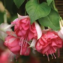 Fuchsia (Giant Trailing) Peachy Plants