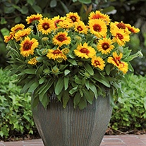 Gaillardia Mesa Bright Bicolour F1 Plants