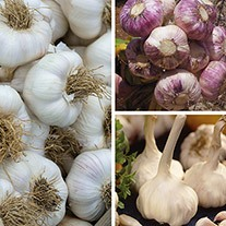 Long Harvest Garlic Collection