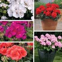Geranium Designer Series Plant Collection
