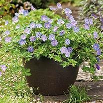 Geranium Azure Rush® Plants