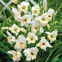 Gladiolus Halley Corms