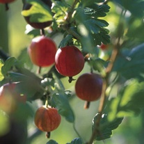 Gooseberry Xenia Plant