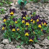Heartsease Plants