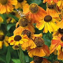 Helenium Sahin's Early Flowerer Plant
