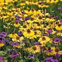 Helenium Wesergold Plant