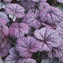 Heuchera Midnight Bayou Plants